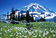 Avalanche lilies and buttercup flowers thrive at Spray Park, Mount Rainier National Park, Washington, USA. Published on the cover of the 1996 Graduate Program Brochure for the Department of Physiology & Biophysics, University of Washington, Seattle.