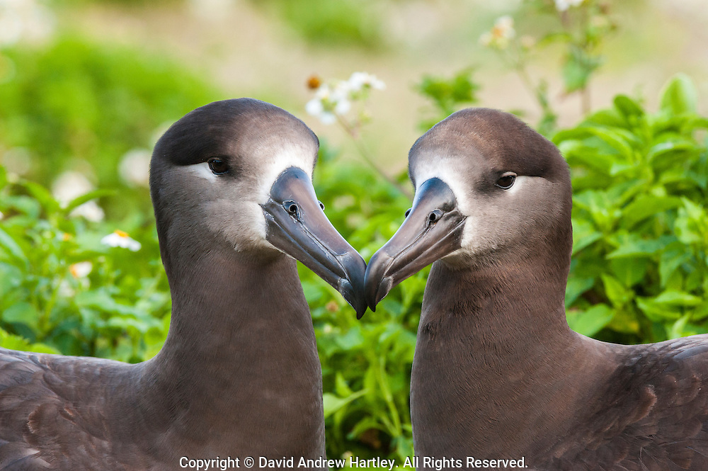 Two courting Black-footed Albatross (Phoebastria nigripes) . Midway Atoll National Wildlife Refuge.