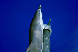 pantropical spotted dolphins, Stenella attenuata, bow-riding, off Kona Coast, Big Island, Hawaii, Pacific Ocean