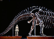 This forty-ton vegetarian, Apatosaurus louisae, at the Carnegie Museum of Natural History is named after Andrew Carnegie's wife, is over seventy-seven feet 23 melong and is the longest mounted dinosaur in the world.