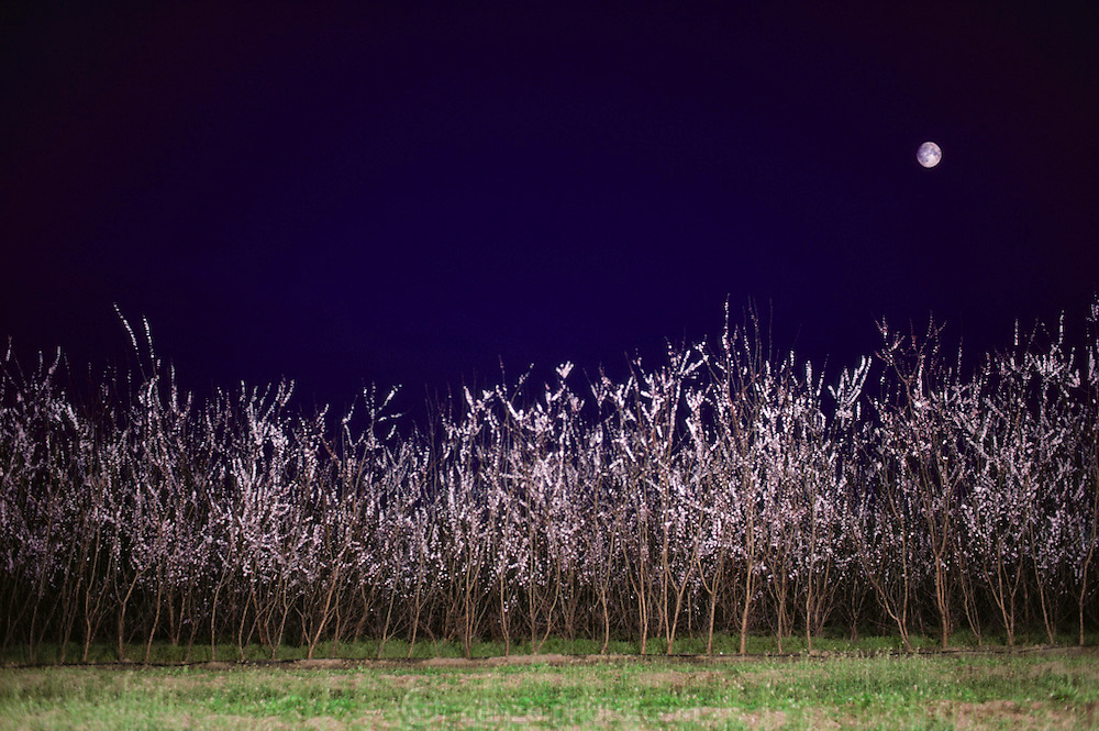 A portion of a test block of Floyd Zaiger's young fruit trees in bloom at night with a near full moon. Floyd Zaiger (Born 1926) is a biologist who is most noted for his work in fruit genetics. Zaiger Genetics, located in Modesto, California, USA, was founded in 1958. Zaiger has spent his life in pursuit of the perfect fruit, developing both cultivars of existing species and new hybrids such as the pluot and the aprium. 1983.