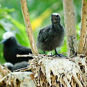 A young chick White Capped Noddy nesting on Lady Elliot Island, a coral cay on the Great Barrier Reef