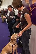 New York, NY - 8 February 2014. A Labrador retriever gets a treat from its handler after completing the agility trials at the Westminster Kennel Club dog show.