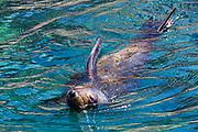 California sea lions (Zalophus californianus), Isla los Islotes, Sea of Cortez, February, Baja, Mexico