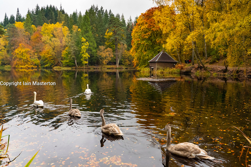 Pitlochry, Scotland, UK. 20 October 2020. Autumn colours at Loch Dunmore in Faskally Wood near Pitlochry in Perthshire. Family of swans on the loch.  Iain Masterton/Alamy Live News