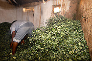 Preparing the leaves for the dealing means also a phase of rewetting job, work, agricolture