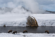 Bison graze on winter grass beneath the snow in front of a thermal runoff along the Firehole River in Yellowstone