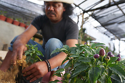 August 6, 2017 - Malang, East Java, Indonesia - Chilli farmers showed the process of breeding chili rainbow area of Sidomulyo village, Bumiaji Subdistrict, Batu, East Java. According to farmers selling price of Chili Pelangi Rp.5000 - Rp.10000 polybag depending on small chili plants, chili Pelangi is categorized ornamental plants that have the color purple, green, yellow, and red. (Credit Image: © Adhitya Hendra/Pacific Press via ZUMA Wire)