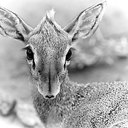 """""""Dik-dik""""                                                           Tanzania<br />  A small and beautifully delicate antelope that roams the Savannahs of Africa.  A  petite  12-16"""" tall and 7-16 pounds."""