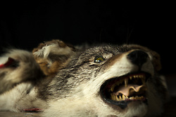 Close-up of a snarling grey wolf hide (Canis Lupus) at night