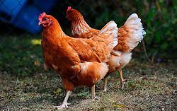 THEMENBILD - Bild zeigt Hühner in artgerechter, natürlicher Haltung // Chicken in species appropriate a natural stance, pictured in Germany on 2015/03/02. EXPA Pictures © 2015, PhotoCredit: EXPA/ Eibner-Pressefoto/ Baumann<br /> <br /> *****ATTENTION - OUT of GER*****