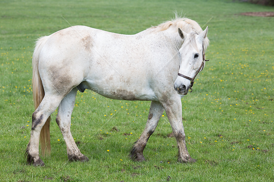 white horse walking in a  field and looking back over his shoulder