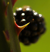 Dangerous and delicious, blackberries beckon pickers but can make them pay in blood for the sweet juicy reward.  The large, hook-like thorns inflict maximum damage. (Tom Reese / The Seattle Times)