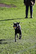 A black labrador runs with a ball in a London park