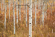 Aspen Trees in Grand Tetons National Park, Jackson, Wyoming