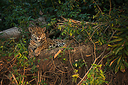 Jaguar (Panthera onca) female<br /> Northern Pantanal<br /> Mato Grosso<br /> Brazil<br /> (Ruth)