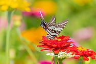 03006-00404 Zebra Swallowtail (Protographium marcellus) on Zinnia Union Co. IL