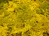 Bracken Ferns (Pteridium aquilinum) in autumn yellow, Gifford Pinchot National Forest, Cascade Range, Washington state, USA