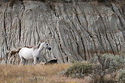 Wild Horses, Gray Mare and foal