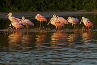 Roseate Spoonbill (Ajaia ajaja)..Everglades National Park, Eco Pond..Florida, USA.