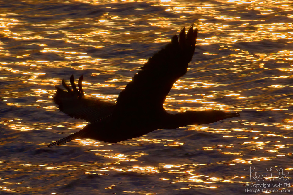 A double-crested cormorant (Phalacrocorax auritus), rendered in silhouette, flies over a patch of sunglint on Puget Sound near Edmonds, Washington.
