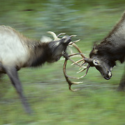 Elk bulls engaged in a serious battle over cows during rut in the Canadian Rockies. Canada