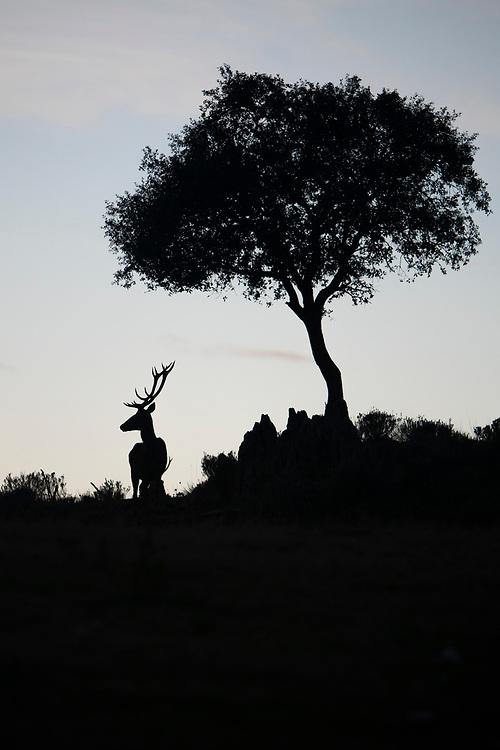 Red deer stag, Cervus elaphus, Dehesa mosaic woodland, Parque Natural Sierra de Andújar, Andalucia, Spain