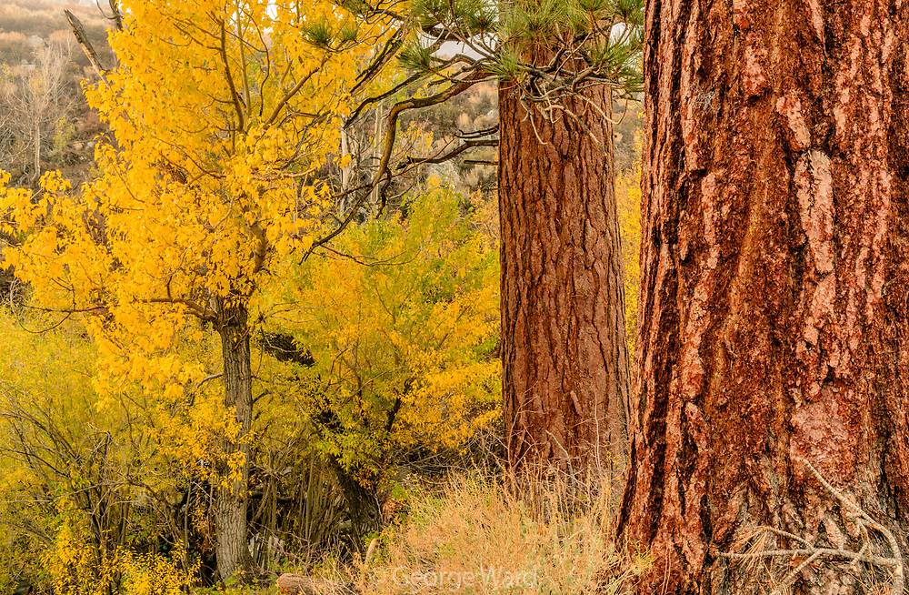 Jeffrey Pine and Cottonwood, Inyo National Forest, Mono County, Caifornia