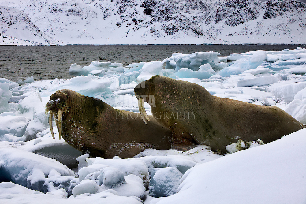 Noruega. Ártico. Norte de las Islas Svalbard.<br /> Morsas descansando sobre el hielo ártico.<br /> <br /> © JOAN COSTA