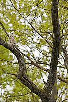 Oak (Quercus robus), ural owl (Strix uralensis ), Matsalu Bay Nature Reserve, Estonia