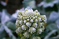 Frost covered Romanesco broccoli growing in an Irish garden
