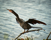 Anhinga spreading its wings to dry off. Black Point Wildlife Drive, Merritt Island National Wildlife Refuge. Image taken with a Nikon D3s camera and 70-200mm f/2.8 lens with a 2.0 TC-E III teleconverter (ISO 200, 400 mm, f/5.6, 1/500 sec).