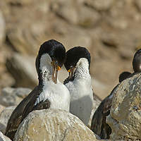 Imperial Cormorants (also called shags) nest at a rookery on New Island in Britain's Falkland Islands. (These are also know as blue-eyed or king cormorants [or shags].)