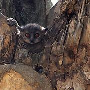 Weasel or Sportive Lemur (Lepilemur mustelinus leucopus) in Madagascar.  Endangered Species.