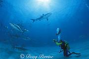 Dr. Erich Ritter videotapes requiem sharks, Carcharhinus limbatus & Carcharhinus perezi, Walker's Cay, Bahamas ( Western Atlantic Ocean )