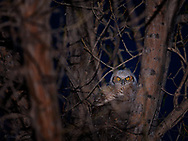 A young great horned owl peers out from behind a jumbled weave of branches at Bosque del Apache Wildlife Refuge.