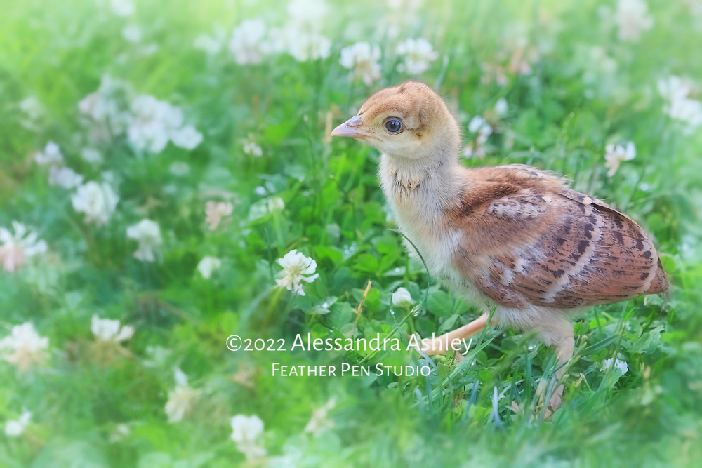 Newly hatched peafowl chick, about the height of a blade of grass. Garden setting, central Ohio.