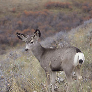 Mule Deer, (Odocoileus hemionus) Fawn on the slopes of the foot- hills of the Bridger mountains. Montana. Fall.