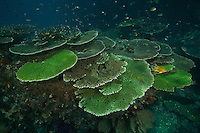 Table corals and staghorn corals with schools of damselfish in Raja Ampat, Indonesia.  A healthy hard coral reef