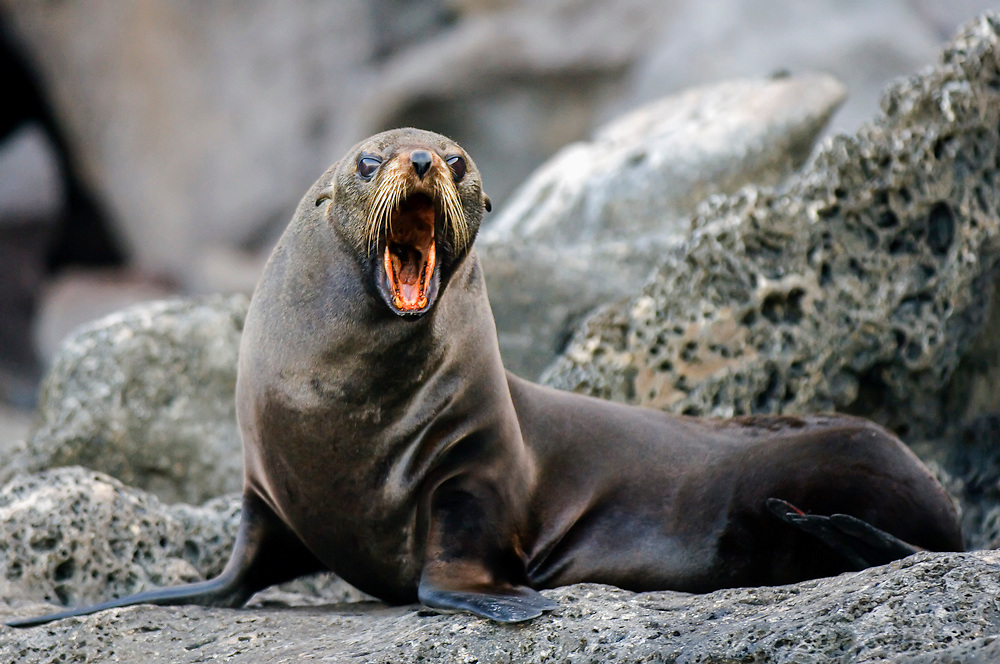 Guadalupe Fur Seal (Arctocephalus townsendi) in Guadalupe Island, Mexico. This  species is a major prey item of Great White Sharks (Carcharodon carcharias).