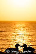 black-footed albatross, Phoebastria nigripes, courtship at sunset, Sand Island, Midway Atoll, Midway National Wildlife Refuge, Papahanaumokuakea Marine National Monument, Northwest Hawaiian Islands, USA ( North Pacific Ocean )