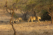 Sasan Gir - Monday, Jan 08 2007:  A female Asiatic Lion (on right) leads her male cub through the forest at Gir National Park. (Photo by Peter Horrell / http://www.peterhorrell.com)