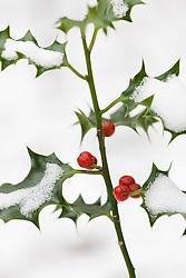 Holly berries in snow. Ilex aquifolium