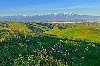 Purple wildflowers bloom in the verdant Chino Hills with the snow covered San Gabriel Mountains in the background.<br />