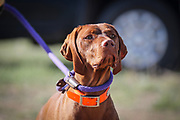 SHOT 5/9/20 8:35:05 AM - Various pointing breeds compete in the Vizsla Club of Colorado Licensed Hunt Test Premium at the Rocky Mountain Sporting Dog Club Grounds in Keenesburg, Co. (Photo by Marc Piscotty / © 2020)