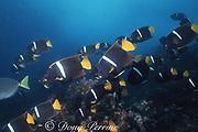 schooling king angelfish ( passer angelfish ) Holacanthus passer, Galapagos Islands, Ecuador ( Eastern Pacific Ocean )