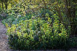 Euphorbia amygdaloides var. robbiae in the shade bed
