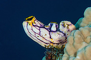 Solitary Tunicate (Ascidian)<br /> Cenderawasih Bay<br /> West Papua<br /> Indonesia