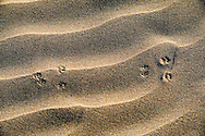 Animal track in desert sand at Lagoon Khenifiss (Lac Naila).