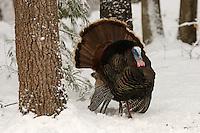 Male Wild Turkey (Meleagris gallopavo) displaying..Lexington, MA, USA.